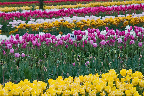 Veldheer's Tulip Farm. Holland Michigan-32