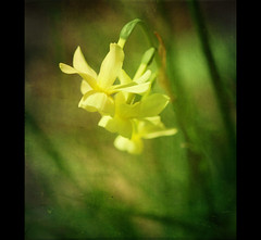 Narcissus (~Jeannine~) Tags: flowers texture yellow daffodil narcissus mywinners platinumphoto