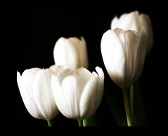 Tulip (Pachibro Portfolio) Tags: flowers fleurs canon eos tulip fiore tulipano petalo 400d canoneos400d scattifotografici pasqualinobrodella pachibroportfolio pachibro