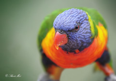 Rainbow Lorikeet... (Explore) (Shoot-Me1) Tags: bird nikon australia explore rainbowlorikeet shootme d300 shootme1