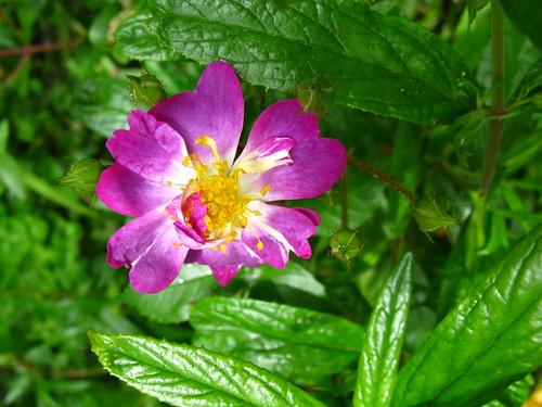 Rosa 'Veilchenblau'