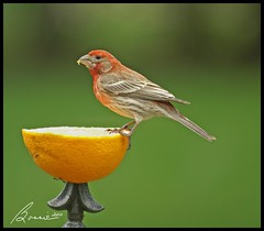 I love fresh fruit.......... (bonnie5378) Tags: orange ngc housefinch may10 supershot bej wingedwonders canadianfemalephotographer mybackyardbirds naturescarousel naturallywonderful throughmypatiodoors