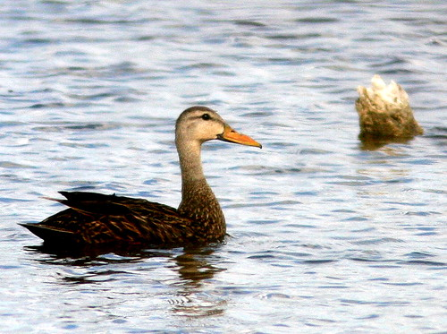 Mottled Duck 20100524