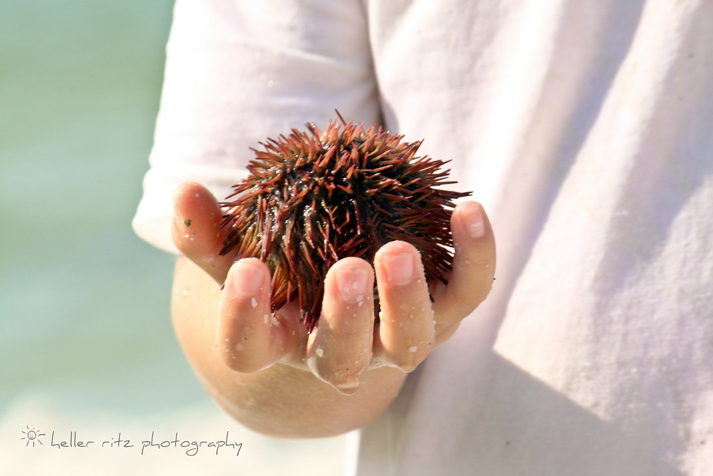 Ocean Treasure_Sea Urchin
