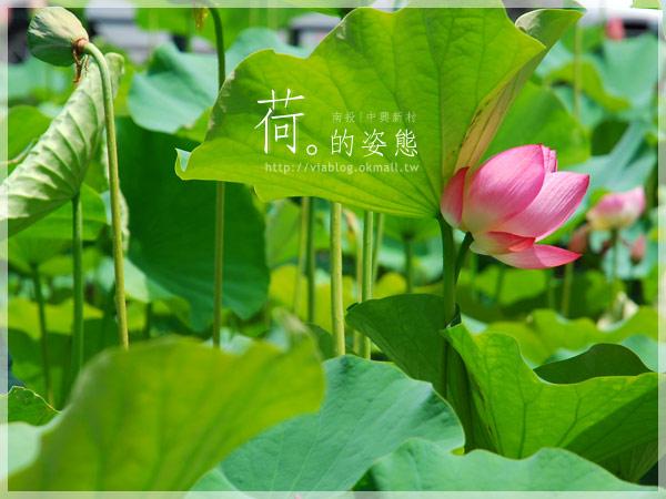 【2010賞荷】南投中興新村~荷花(蓮花)池準備盛放!11