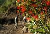 Quintral (nishoba) Tags: flora cajon maipo lagunilla quintral