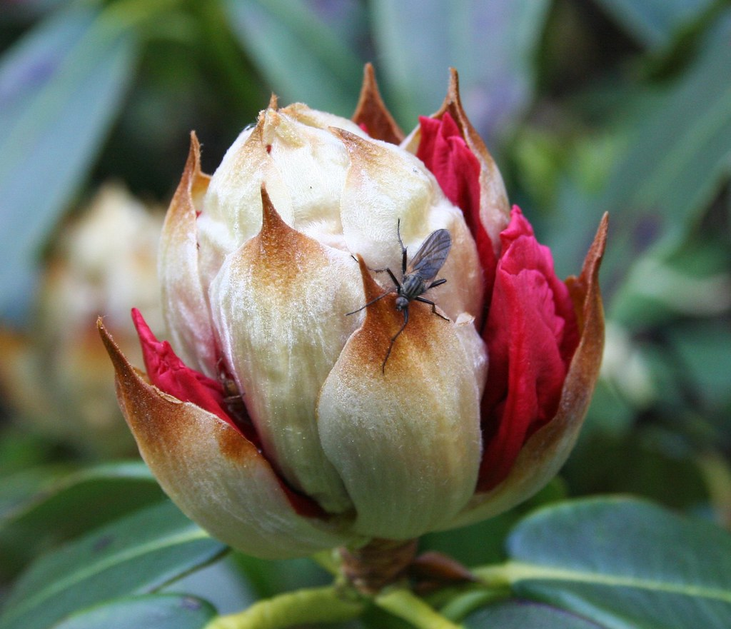 Rhododendron and Fly