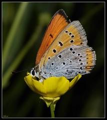 Lycaena dispar (alfvet) Tags: macro nature nikon butterflies natura d60 farfalle lycaena thegalaxy physis platinumheartaward natureselegantshots veterinarifotografi