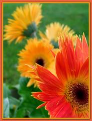 Colors of Gerbera Daisy's (LadyDragonflyCC - >;<) Tags: pink orange flower macro june fuji close blossom radiance peach petal gerbera stamen finepix daisy bloom annual pollen 2010 simplyflowers s100fs cimalacustomphotography
