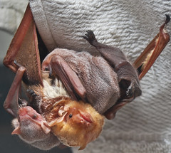 Eastern Red Bat with three babies.