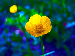 Fuji S100FS - Electric Blue - Mapleton Park, Moncton (Moncton Photographer) Tags: park new flowers blue flower macro nature yellow electric fuji s brunswick finepix moncton fujifilm 100 fs mapleton s100fs