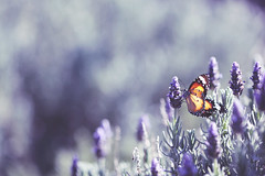 ...sing me to sleep ... (jewelflyt) Tags: butterfly insect lyrics bokeh lavender processed brookefraser thethief redbubble hpps perfectpurplesaturday