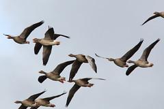 Greylag Goose (Andy_Hartley) Tags: uk england bird nature birds animals moving europe wildlife warwickshire brandonmarsh canon450d sigma150500