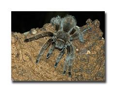 Tarantula (stagenutuk) Tags: d50 insect spider nikon somerset tarantula 8legs hairyspider tropiquaria largespider