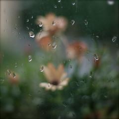 Rain, rain, rain! 365-12 (EnJork) Tags: flowers flower window water rain square sweden stockholm blomma sverige blommor vatten regn kvadrat fnster stnk fyrkant vattenstnk