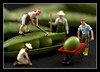 Hard at Work (hoho0482) Tags: farmers peas wheelbarrow hardatwork recesion macromondays