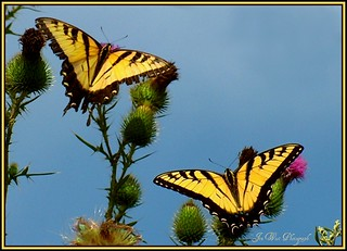 Yellow Swallowtails