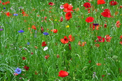 C'est comme en t ~ It's like summer (Michele*mp) Tags: flowers blue red france green colors june fleurs grenoble rouge juin europe colours couleurs vert bleu poppies wildflowers parc dauphine bleuets coquelicots meylan pavots abigfave fleursdeschamps goldstaraward michelemp parcdubachet