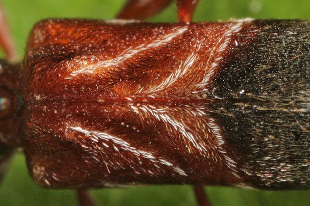 Ant Mimic Longhorned Beetle (Cyrtophorus verrucosus)