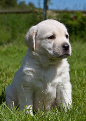 Yellow lab puppy 2 (slmiddleton) Tags: cute yellow canon puppy puppies lab labrador retriever 7d