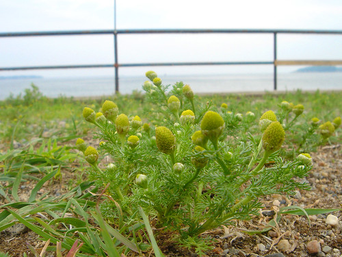 Pineapple Weed Photo