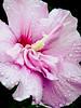 slight drizzle (bdaryle) Tags: pink flower nature wet fleur rain droplets petals soft sony flor drizzle thesuperbmasterpiece theperfectpinkdiamond brandondaryle bdaryle imagesbybrandon