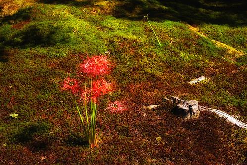 庭の曼珠沙華