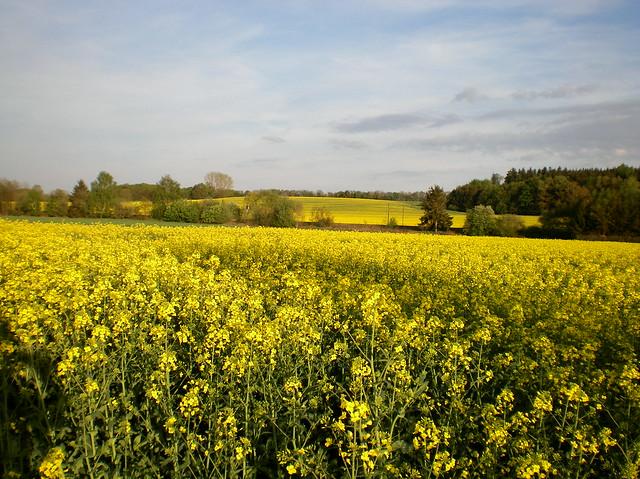 Rapsfeld - canola-field