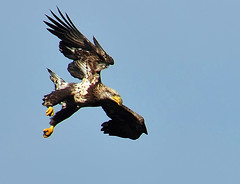 Immature Bald Eagle Begins Its Rapid Descent to the River (ozoni11) Tags: fish bird nature birds animal animals river fishing nikon eagle dam baldeagle maryland raptor rivers eagles raptors susquehanna dams susquehannariver baldeagles d300 conowingo conowingodam michaeloberman ozoni11