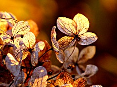 Hydrangea at Sunset (#1228) (protophotogsl) Tags: autumn sunset flower macro fall closeup backlight golden amber beige october wither faded hydrangea dried withered 1001nights picnik lateafternoon img0646 protophotogsl 1001nightsmagiccity magiccity~9awardthread 1001nights~9award~nomorethan40commentsthread