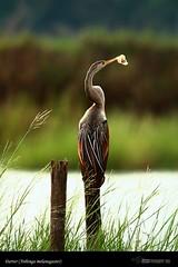 Darter (Anhinga melanogaster) / ചേരക്കോഴി (suhaaz Kechery) Tags: ചേരക്കോഴി darteranhingamelanogasteranhingamelanogastershorebirdinlandwaterbirdcoastalwaterbirdchoondalkunnamkulambirdingbirdsofkeralasuhaazkecheryphotography