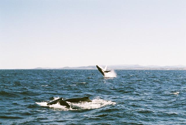 humpback whale #5