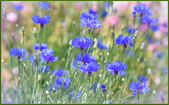 Blue is for Summer (tdlucas5000) Tags: cornflower blue bluecornflower flower wildflowers wildflower bokeh creamybokeh sigma105 california