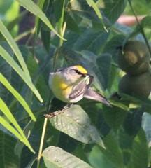 Brewster's Warbler (Vermivora chrysoptera x cyanoptera) 07-02-2017 Good Hope Road, Garrett Co. MD 2 (Birder20714) Tags: birds maryland warblers parulidae vermivora chrysoptera x cyanoptera