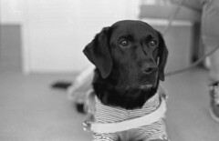 Guide dog (odeleapple) Tags: nikon f100 af nikkor 50mm yellowfilter neon100acros film monochrome guide dog