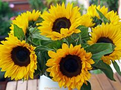 Sonnenblumen (magritknapp) Tags: sonnenblumen vase tisch balkon berlin sunflowers table balcony balcon de tournesol girasol florero la tabla balcón girassol tabela vaso varanda girasole tabella balcone