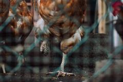 riverdance   l   2017 (weddelbrooklyn) Tags: tier tiere hahn henne huhn hühner stall hühnerstall einbeinig beine tanz tanzen dorf federn zaun animal animals rooster chicken hen chickencoop onelegged leg legs dance dancing riverdance village feathers fence nikon d5200