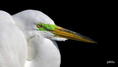 Great Egret breeding plumage  (ardea alba) (jt893x) Tags: 150600mm ardeaalba bird breeding d500 egret greategret jt893x nikon nikond500 portrait profile sigma sigma150600mmf563dgoshsms wadingbird specanimal