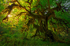 Alive (Protik Mohammad Hossain) Tags: hoh rainforest olympic national park hall mosses tree ancient sunstar green lush