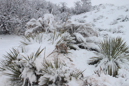 Desert plants in snow