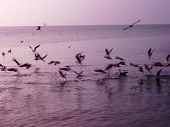 doručak na moru (XVII iz Splita) Tags: sea seagull more galb