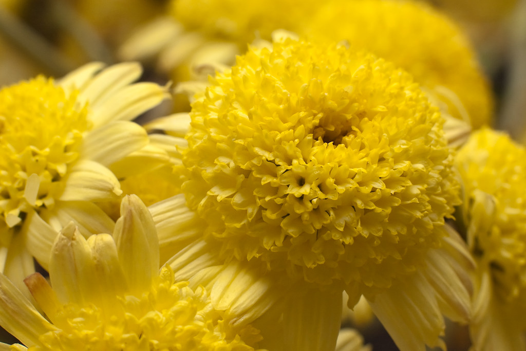 Close-up of yellow ragworts flowers