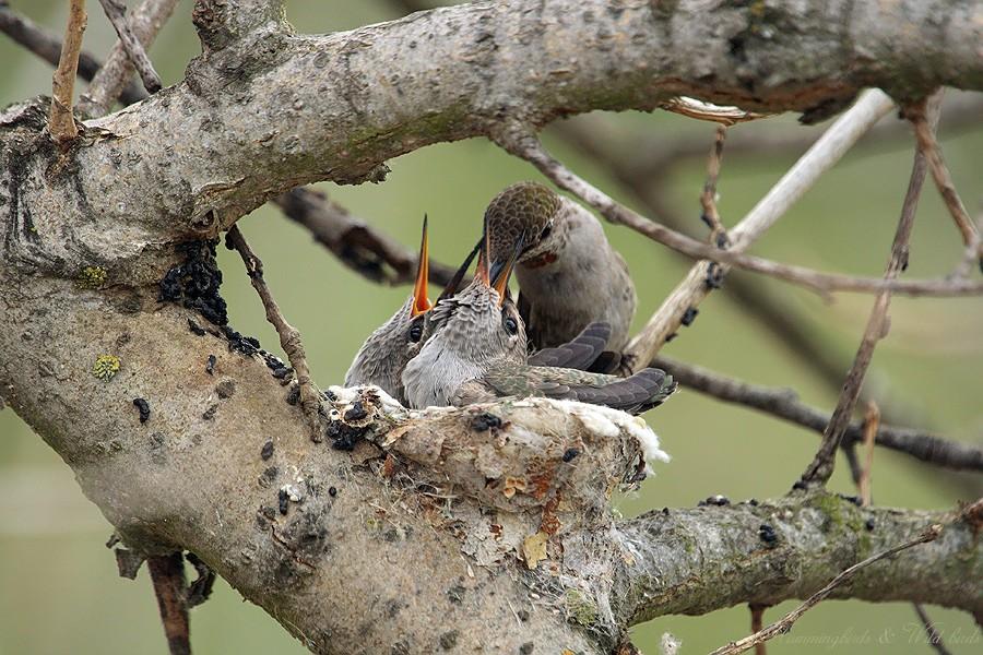 Anna's Hummingbird nest 09001-2