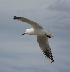 Seagull (Eyersh) Tags: bird seagull flight canong10