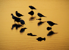 on gold (ssj_george) Tags: larnaca larnaka cyprus circle round reflection saltlake lake salt seaguls guls birds rocks sitting golden sunset waves warps water nature     georgestavrinos ssjgeorge panasonic lumix leica fz38 fz35 aplusphoto superaplus