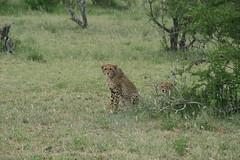 Curious cub (lourobbo) Tags: southafrica cheetah timbavati tandatula