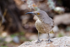 bird desert wildlife thrasher