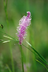 Gyslotis (Zitute) Tags: gamta medžiai gėlės augalas gyslotis