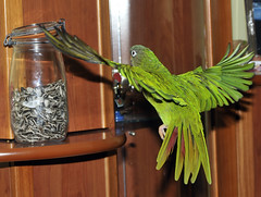 Pipaaaaaaaaaaaaaaaaaaas (FOlmeda) Tags: ave cotorra vuelo aratinga aratingaacuticaudata conuro acuticaudata cotorracabezaazul