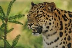 Leopard by Fur Tree (Ami 211) Tags: leopard bigcat panthera felidae pantherapardus pantherinae